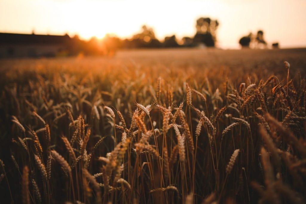 Аллергия на злаковые и луговые травы