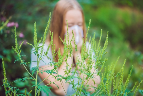 8 фактов об аллергии на амброзию и другие сорные травы