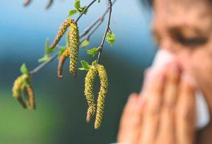 5 интересных фактов об аллергии на пыльцу березу